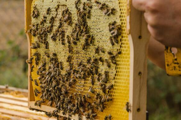 Imker hebt Waben-Rahmen aus Bienenstock